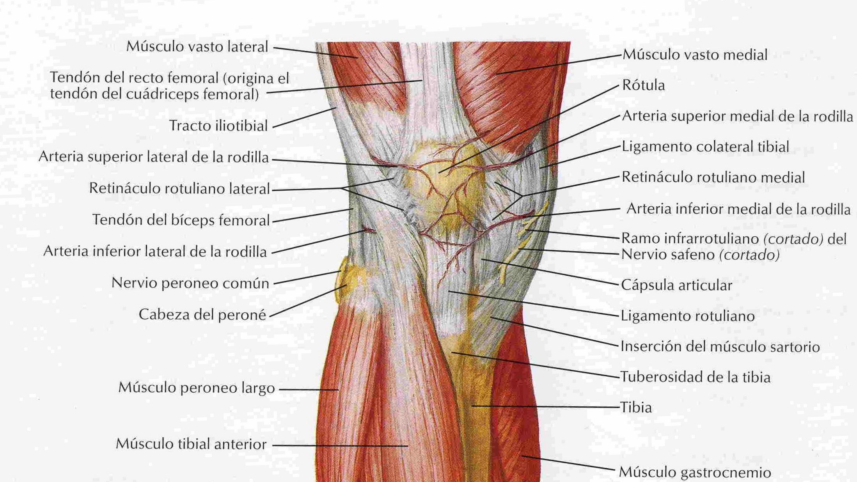 Magnífico Músculo Y El Tendón Anatomía Patrón - Anatomía de Las ...